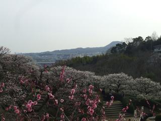 中山寺の梅04