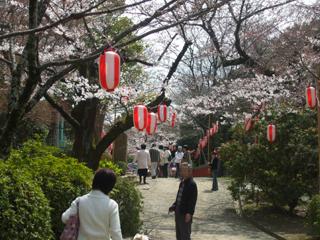Sakura04
